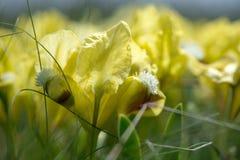 Одичалая радужка blossoming в солнечном весеннем дне Стоковая Фотография