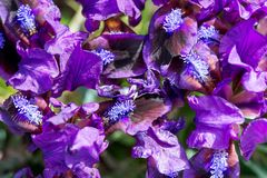 Одичалая радужка blossoming в солнечном весеннем дне Стоковые Изображения