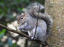 Одичалая серая белка в еде дерева Стоковое Фото