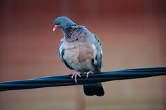 Одичалая стойка голубя на электрическом проводе пока ветер дует Стоковое Изображение