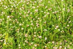 Одичалая трава завода бобов альфальфы клевера стоковое изображение