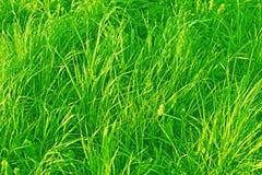 Одичалая трава луга в утре стоковые изображения rf