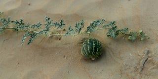 Одичалая тыква в пустыне ОАЭ Стоковая Фотография RF