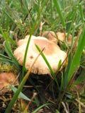 Одичалое â 3 гриба Стоковое Изображение