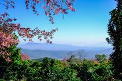 одичалое вишни himalayan Стоковые Фотографии RF