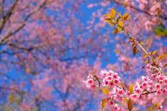 одичалое вишни himalayan Стоковые Фото