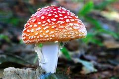 одичалое гриба красное Стоковые Изображения RF