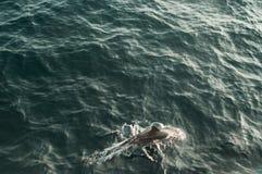 Одичалое длинн-snouted заплывание дельфина в Индийском океане Предпосылка природы живой природы Космос для текста Туризм приключе стоковая фотография rf