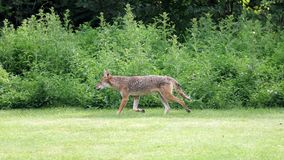 Одичалое звероловство койота для добычи в полесьях во время лета Стоковое Изображение
