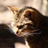 одичалое кота шотландское стоковые изображения rf