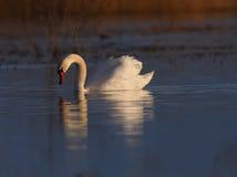 одичалое красивейшего лебедя захода солнца света cygnus теплое Стоковая Фотография RF