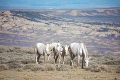 одичалое лошадей белое Стоковые Изображения