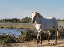 одичалое лошади camargue белое Стоковые Фото
