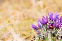 Одичалое молодое Pasqueflower в предыдущей весне Pulsatilla Patens цветков Стоковые Изображения RF