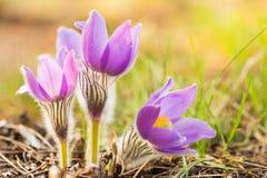 Одичалое молодое Pasqueflower в предыдущей весне Pulsatilla Patens цветков Стоковое Изображение