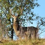 Одичалое рогач красных оленей смотря к камере Стоковая Фотография RF