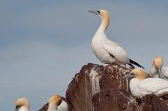 Одичалое северное gannet стоковое изображение