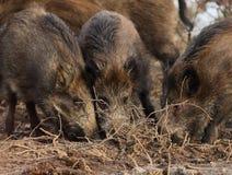 одичалое хряков голодное Стоковая Фотография RF