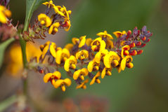 одичалое цветастого цветка tasmanian стоковое фото rf