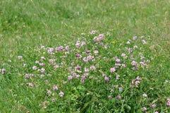 одичалое цветка пурпуровое Стоковое Фото