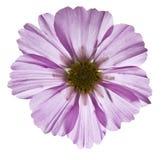 одичалое цветка пурпуровое Стоковое Изображение RF