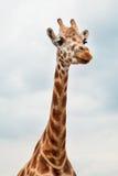 одичалое giraffe головное стоковое изображение rf
