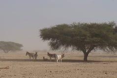 Одичалое nasomaculatus аддакса аддакса осла и антилопы Стоковое Изображение RF