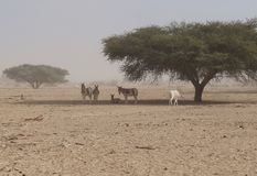Одичалое nasomaculatus аддакса аддакса осла и антилопы Стоковое Изображение