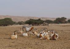 Одичалое nasomaculatus аддакса аддакса осла и антилопы Стоковые Изображения RF
