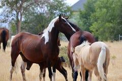 Одичалые американские лошади мустанга Стоковые Фотографии RF