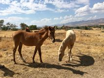 Одичалые американские одногодки лошадей мустанга Стоковое Фото