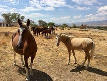 Одичалые американские одногодки лошадей мустанга Стоковое фото RF