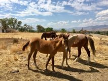 Одичалые американские одногодки лошадей мустанга Стоковая Фотография RF