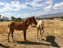 Одичалые американские одногодки лошадей мустанга Стоковая Фотография