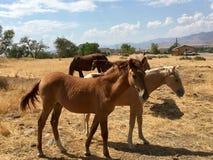 Одичалые американские одногодки лошадей мустанга Стоковые Фото