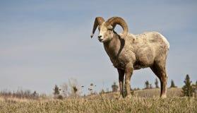 Одичалые большие овцы Горна Стоковое Изображение
