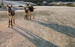 Одичалые взгляды Curacao ослов Стоковые Изображения