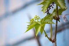 Одичалые виноградины Ветви одичалых виноградин Стоковые Фото
