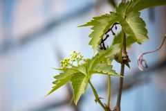 Одичалые виноградины Ветви одичалых виноградин Стоковое Изображение RF