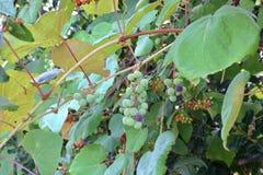 Одичалые виноградины обочины зрея на лозе Стоковое Изображение