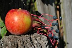 Одичалые виноградины разветвляют с зрелыми ягодами и красным яблоком на старой деревянной загородке Стоковая Фотография
