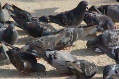 Одичалые голуби - крупный план Стоковая Фотография