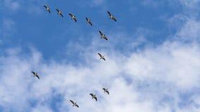 Одичалые гусыни летая Стоковые Изображения