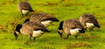 Одичалые гусыни на луге обгрызая трава, зеленая сочная трава Стоковая Фотография