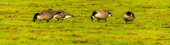 Одичалые гусыни на луге обгрызая трава, зеленая сочная трава Стоковое Изображение