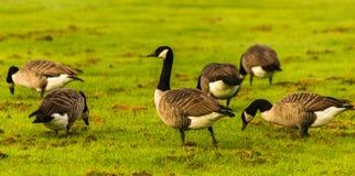 Одичалые гусыни на луге обгрызая трава, зеленая сочная трава Стоковое Фото