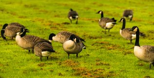 Одичалые гусыни на луге обгрызая трава, зеленая сочная трава Стоковое фото RF
