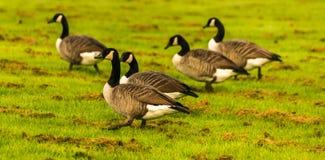 Одичалые гусыни на луге обгрызая трава, зеленая сочная трава Стоковые Фото