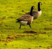 Одичалые гусыни на луге обгрызая трава, зеленая сочная трава Стоковые Фотографии RF