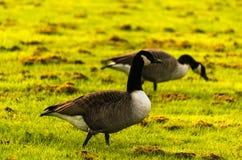Одичалые гусыни на луге обгрызая трава, зеленая сочная трава Стоковые Изображения RF